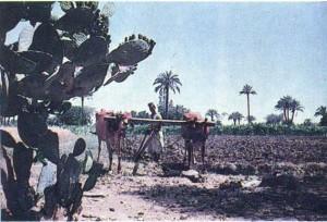 Феллах в поле. Фаюмский оазис. Египет.