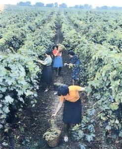 Сбор винограда.